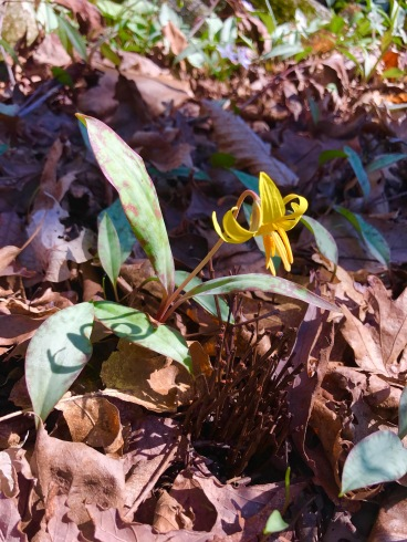 Trout lily - named for the pattern on its leaves