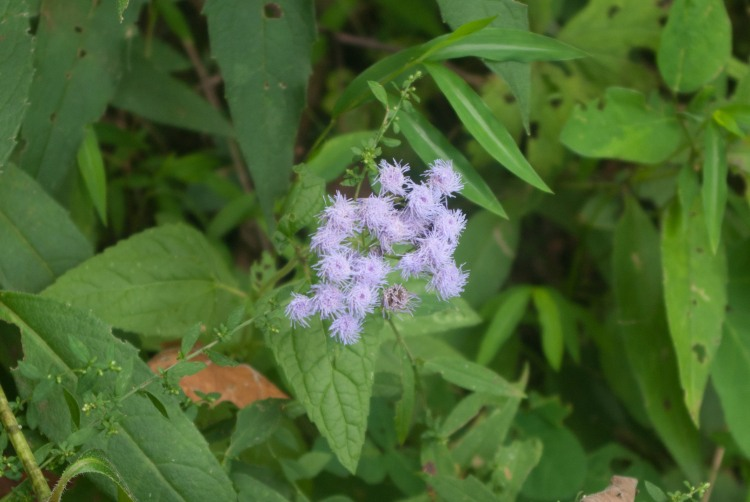 BlueMistflower