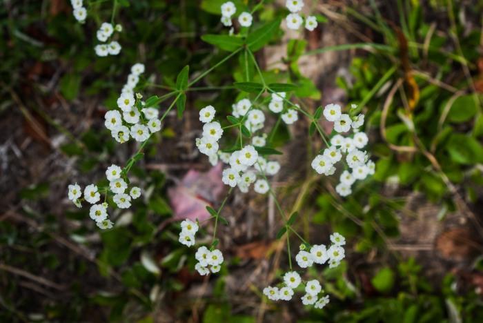FloweringSpurge